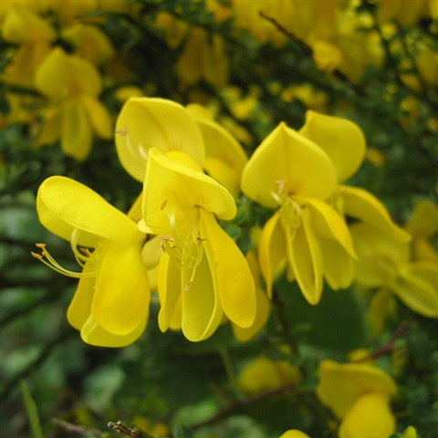 Wild Broom Seeds