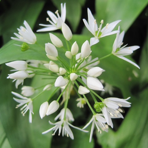 Wild Garlic Seeds