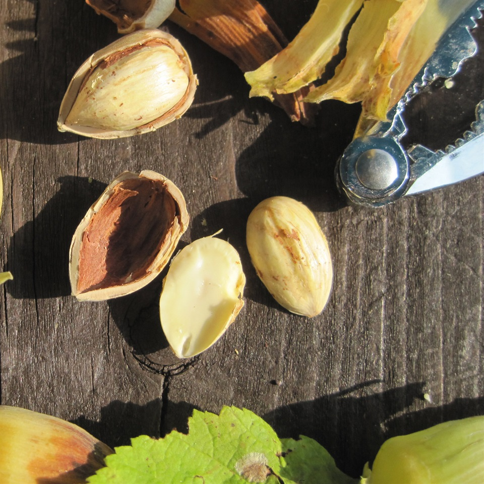 Green Ripe Kentish Cobnuts