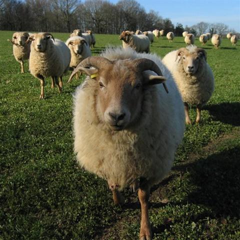Portland Wool Rare Breed Sheep