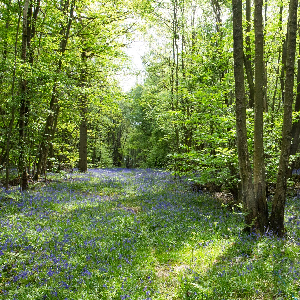 Farnell Farm British Wild Bluebells
