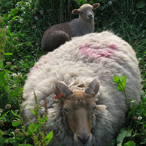Rare Breed Portland Sheep
