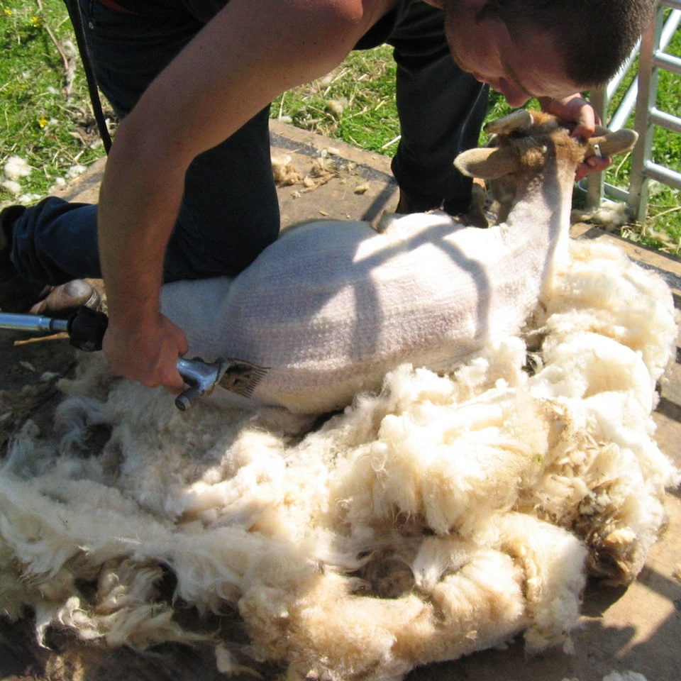 Rare Breed Portland Sheep Shearing
