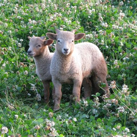 Rare Breed Portland Spring Lambs