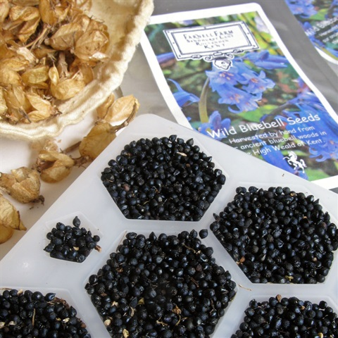 Farnell Farm English Wild Bluebells Seeds