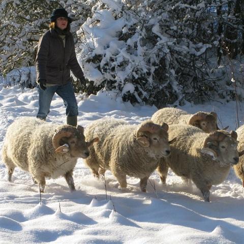 Rare Breed Sheep