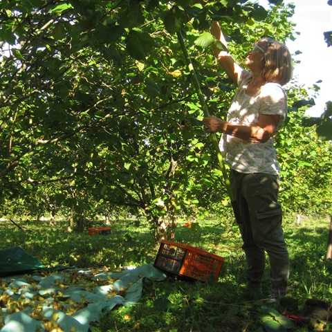 Kentish Cobnut Harvesting