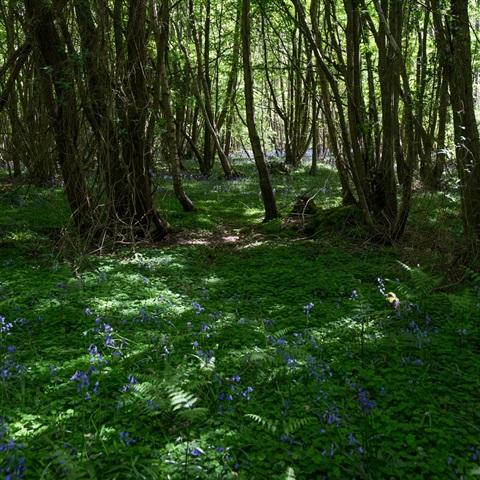 British Wild Bluebells
