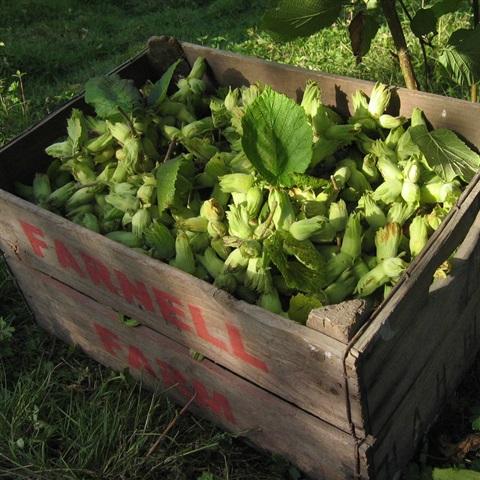 Kentish Cobnut Harvest
